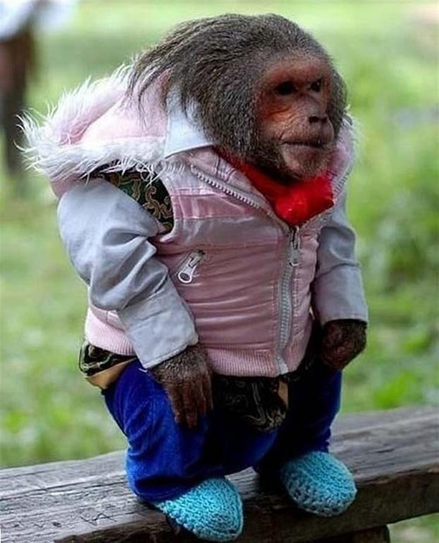 poza maimuta imbracata