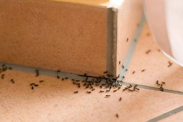 furnici in casa