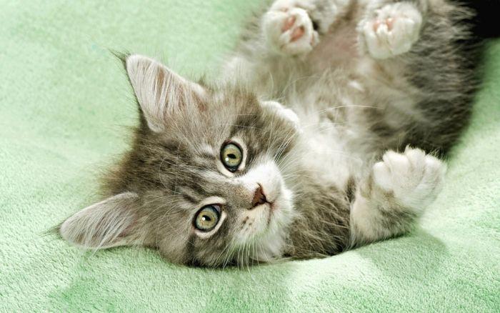 pisica-frumusica