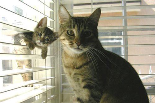 pisica-imita