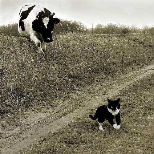 pisica-si-vaca