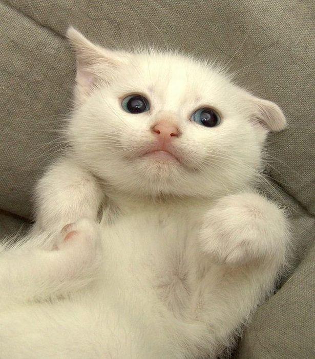 pisicut-alb