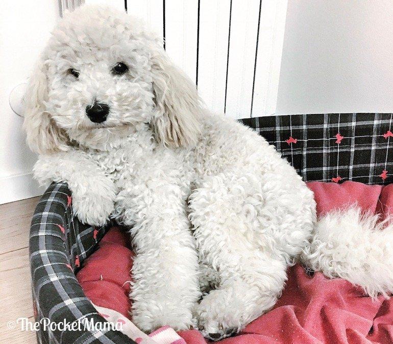 adottare un cucciolo di barboncino