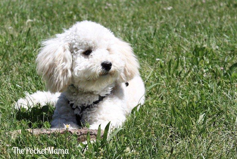 cucciolo di barboncino nano