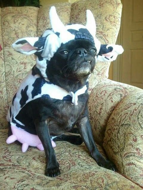 It S Friday So Celebrate With These 10 Cows Sitting Like