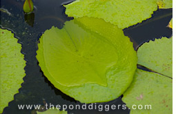 Tropical Lily Pads