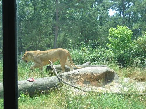 Lion Eating 1