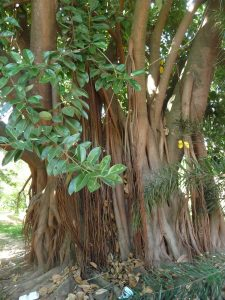 Magnificent Fig Tree