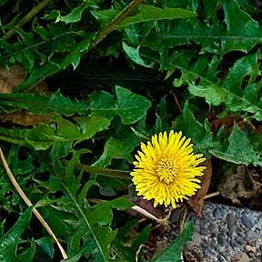 Dandelion_flower.jpg