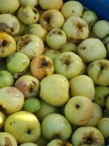 Applesforpressing-1