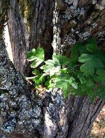 Hawthorn History, Folklore, Myth And Magic