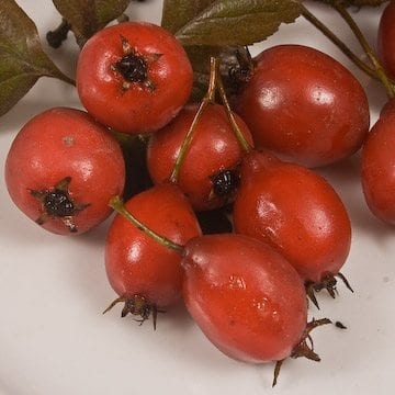 Hawthornberries-5x5-3.jpg