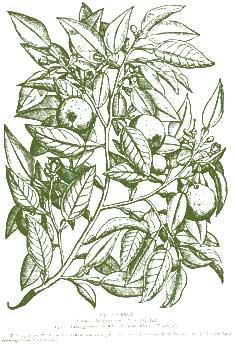 Orange – Pocket Herbal