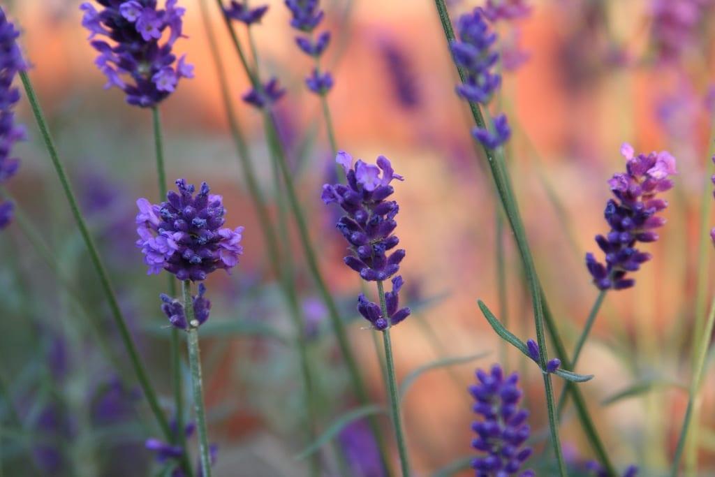 Lavender Goodnight Spritzer Recipe