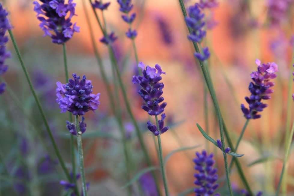 Lavender Goodnight Spritzer Recipe