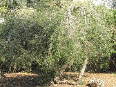 Tea Tree Oil: World Famous Antiseptic