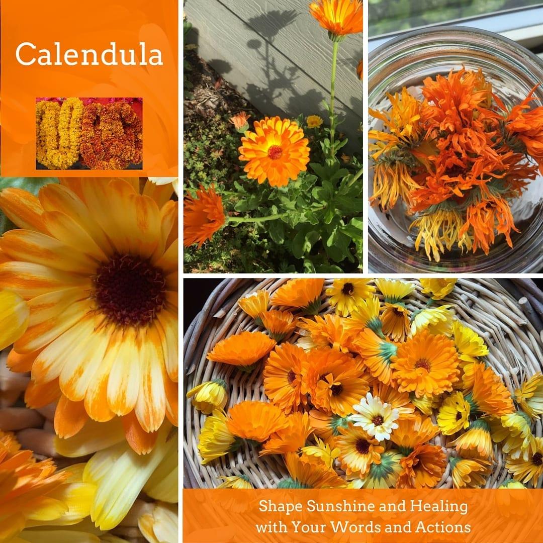 Calendula: Symbolizing Warmth, Better Communication, And Success