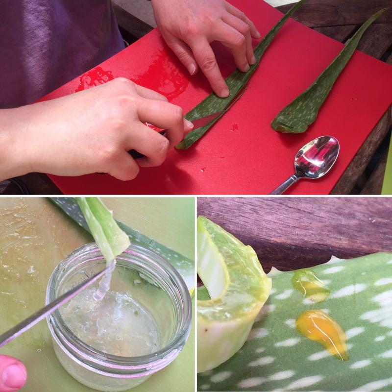 Harvesting Fresh Aloe Vera Gel