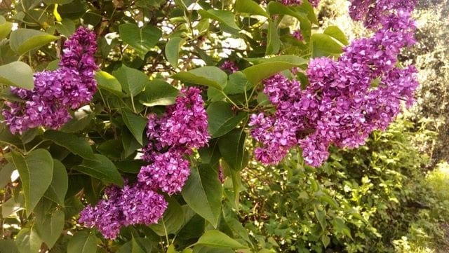 Lilac: An Edible And Medicinal Treat