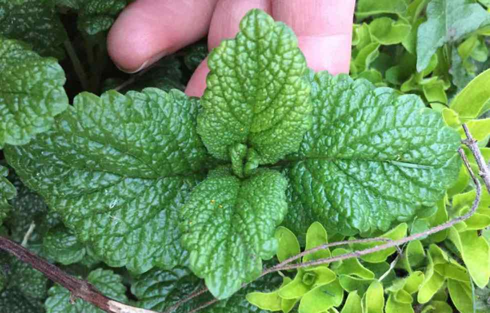 Kicking Home Sickness With Lemon Balm: Family Herbalism In Practice