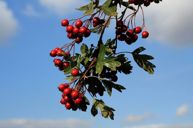 Hawthorn: Energetic Properties And Use