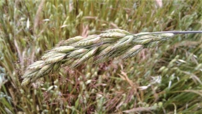 Harvest And Preservation Of Milky Oats