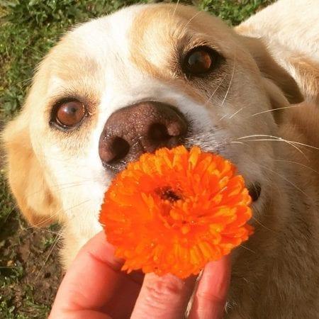 Dog Calendula