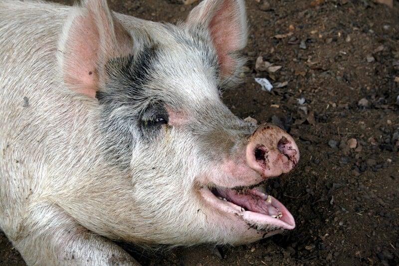 Raising Pigs Pros Cons The Prairie Homestead