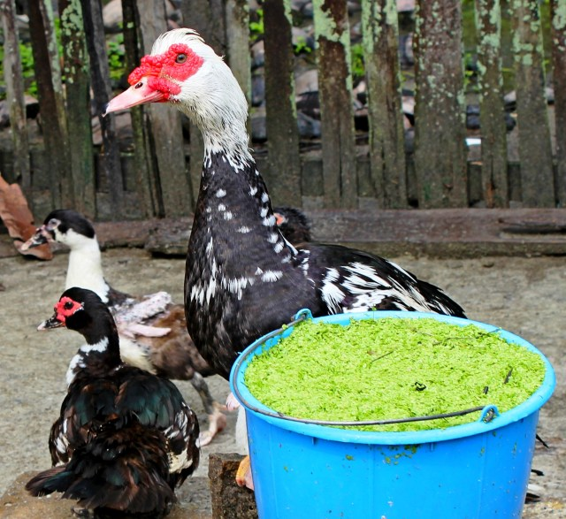 Image – Livestock that eat less leafy foliage like guineas, ducks, and turkeys and our farm dogs require non-vegetative food sources or a ground meal to meet their protein needs.