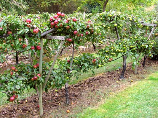 Dwarf and espalier fruit can be trained to hedges, serving multiple functions on our property as well as producing food.