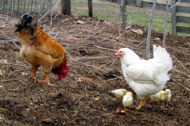 chicks-in-flock