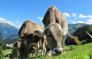 cows-cow-203460_1280
