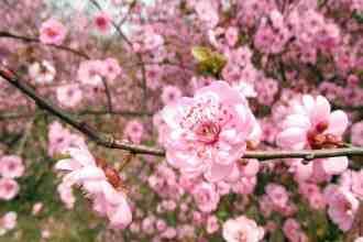 Photo of peach tree blossoms
