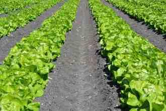 Photo of a lettuce field