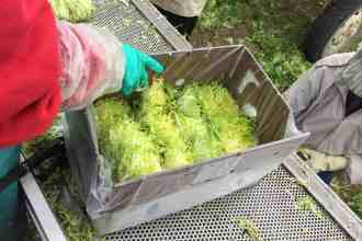 Photo of Blonde Frisée being packed into boxes.