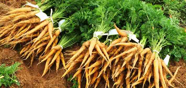 Photo of harvested carrots in the field.