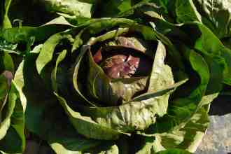 Photo of radicchio in the field.