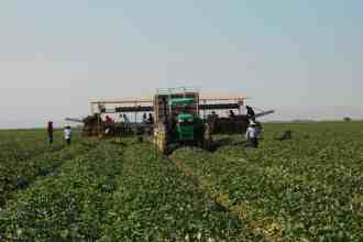 Photo of a cantaloupe harvesting crew in the field.