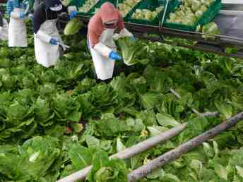 Photo of romaine lettuce being harvested.