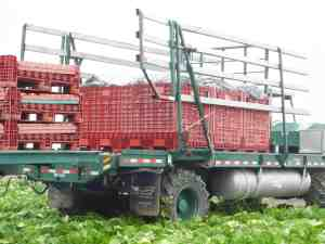 Photo of harvested romaine hearts being transported to the processor.