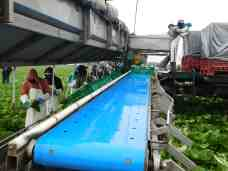 Photo of the harvested bins being transported on the conveyor line.