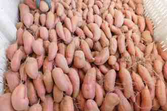 Photo of harvested sweet potatoes.