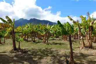 Photo of an apple banana plantation.