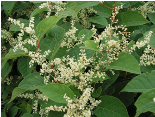 Japanese Knotweed 3