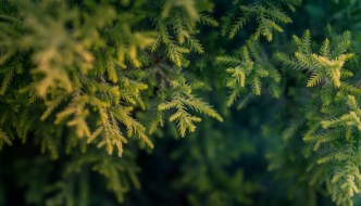 a semi close up of a fir tree's leaves