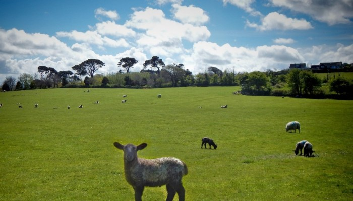 a lamb on a green field with a blue sky in the background