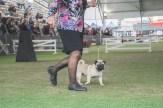 Sydney_Rotal_Dog_Show_The_Pug_Diary_03042015_0039