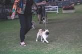 Sydney_Rotal_Dog_Show_The_Pug_Diary_03042015_0050
