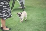 Sydney_Rotal_Dog_Show_The_Pug_Diary_03042015_0074