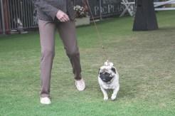 Sydney_Rotal_Dog_Show_The_Pug_Diary_03042015_0079